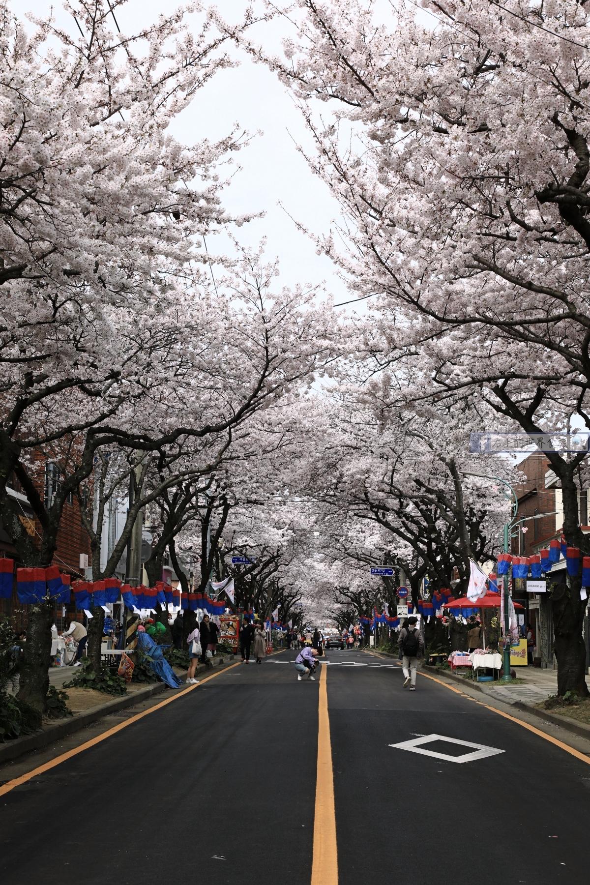 濟州島 典農路櫻花大道,賞櫻必去!逛市集、吃小吃,春天限定活動超好玩 @右上的世界食旅