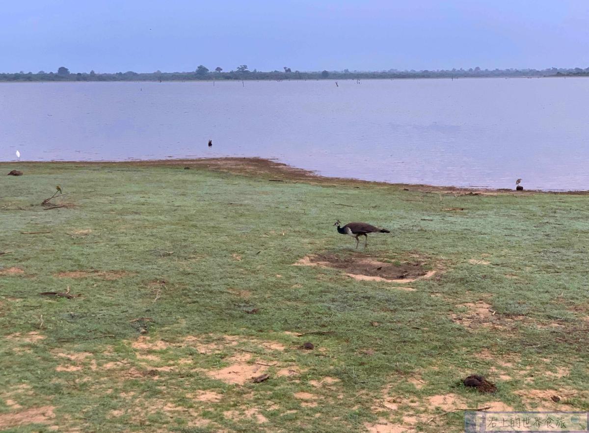 斯里蘭卡11-大象、孔雀、水牛、珍奇鳥類看不完的野生動物天堂:Udawalawe National Park @右上的世界食旅