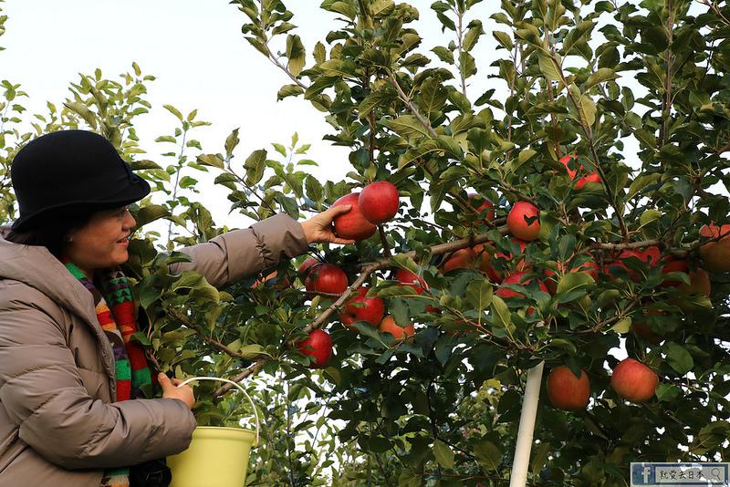 福島旅遊-採蘋果去!MARUSEI果園:現採季節櫻桃、水蜜桃、梨子、葡萄、蘋果和柿子吃到飽 @右上的世界食旅
