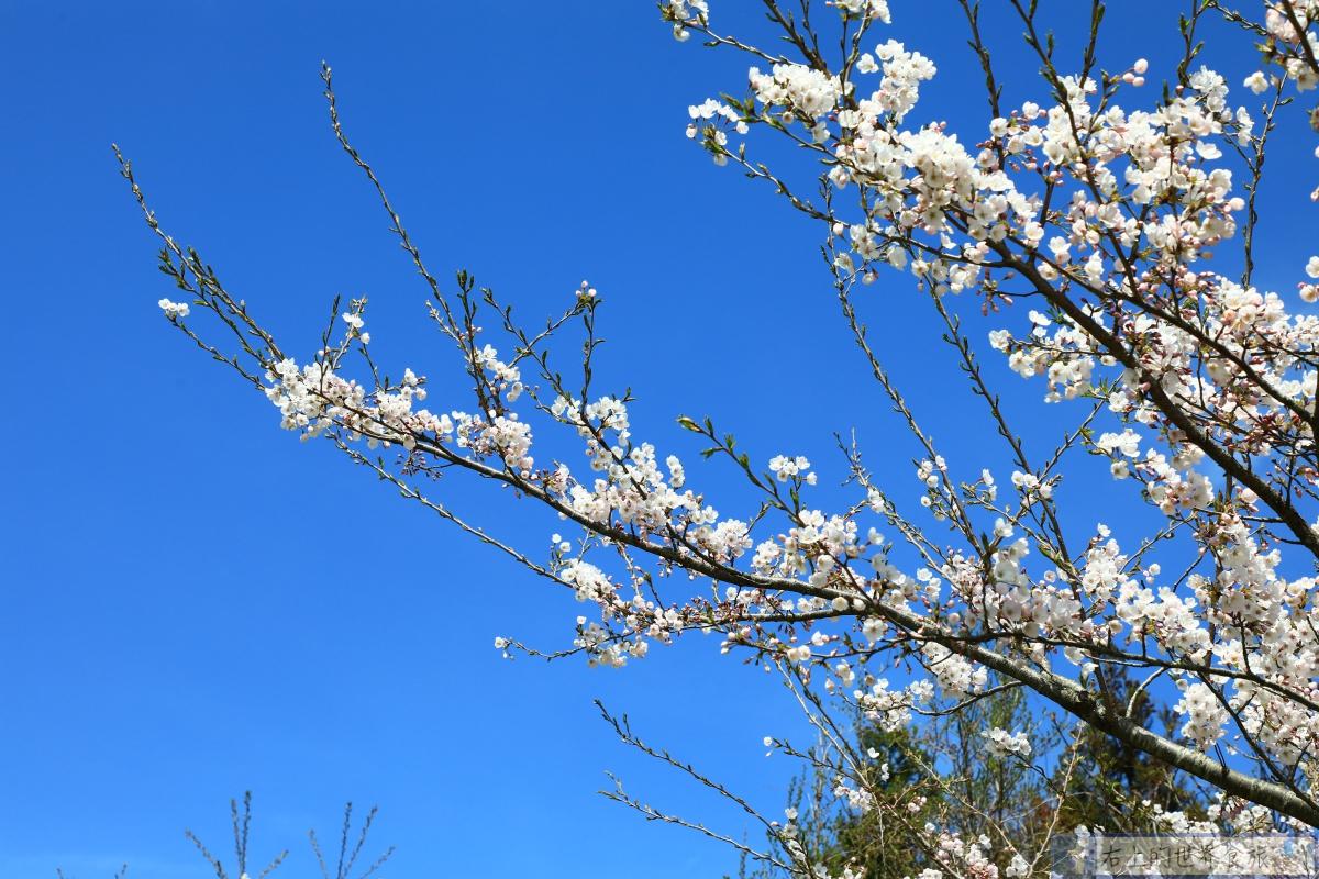 少女心爆棚!油菜花與櫻花共舞.春天最美道路:濟州島 鹿山路加時里 @右上的世界食旅