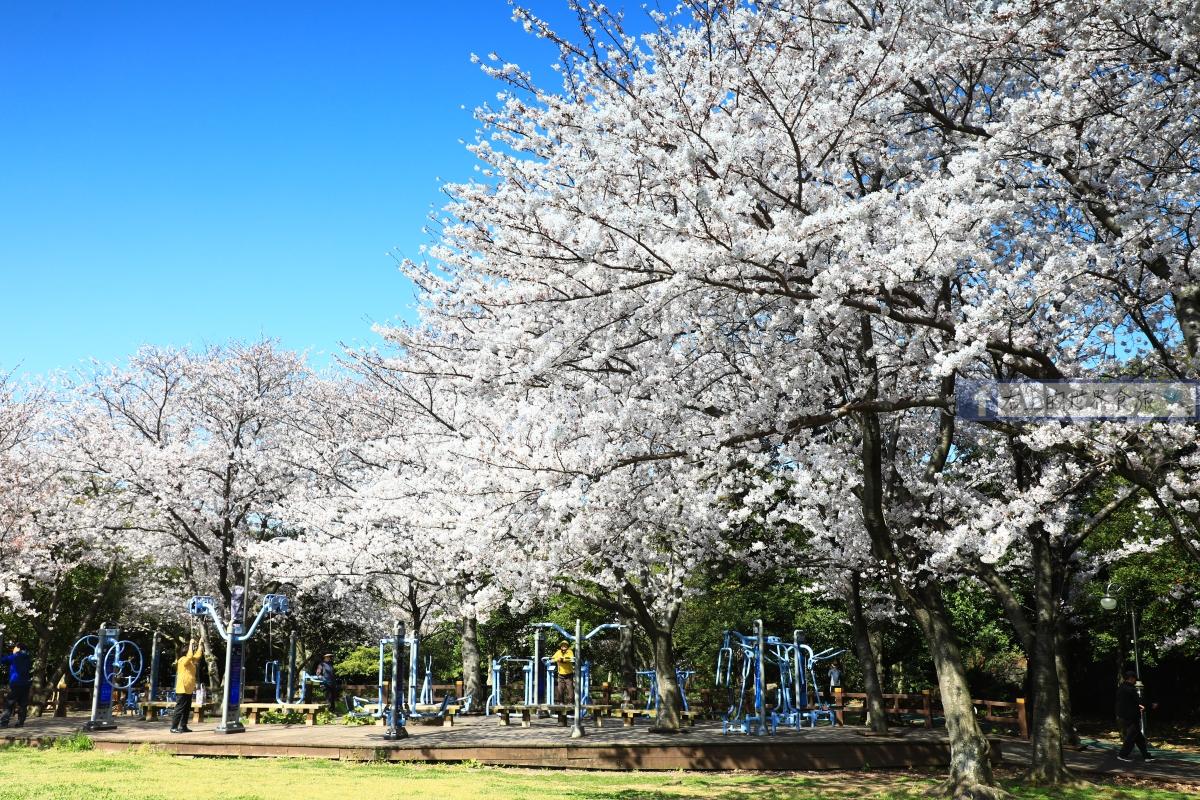 韓國 濟州島旅遊-春季櫻花、油菜花.海灘