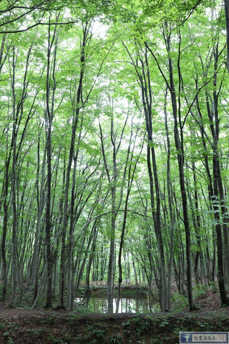 新潟旅遊-十日町 美人林 含交通說明:看大地藝術祭 順遊山毛櫸森林秘境 @右上的世界食旅