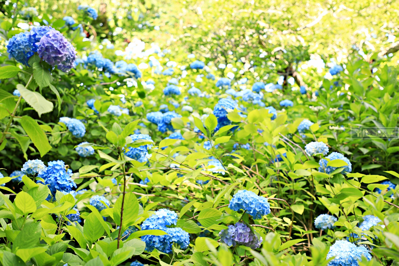 東京 神奈川旅遊|北鎌倉 明月院.6月初夏繡球花(紫陽花)名景.含交通攻略 @右上的世界食旅