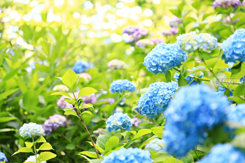 東京旅遊-北鎌倉 明月院.6月初夏繡球花(紫陽花)名景.含交通攻略